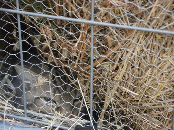 das bild zeigt eine ausgewachsene Wildkatze im Auswilderungsgehege
